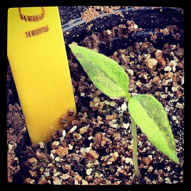 Go chili go! #instagram #france via howtogrowchilipeppers.com